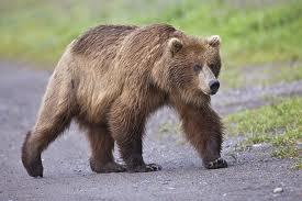 1380964149 m2 Медведь гризли