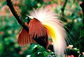 1381663829 r1 Императорская райская птица