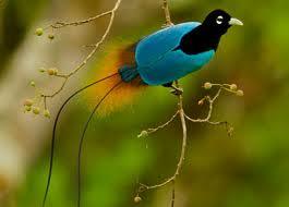 1381663875 r12 Императорская райская птица