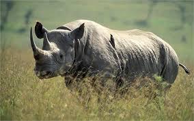1384964492 n1 Чёрный носорог