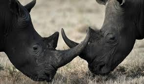 1384964521 n2 Чёрный носорог