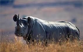 1384964525 n5 Чёрный носорог