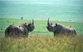 1384964537 n3 Чёрный носорог