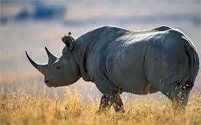 1384964545 n4 Чёрный носорог
