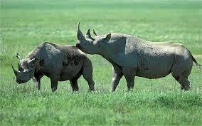 1384964744 n6 Чёрный носорог