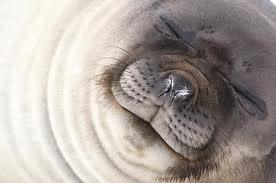 1386101770 s3 Слон морской южный