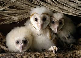 Птенцы сипухи в гнезде