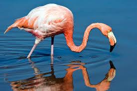 Фламинго красный