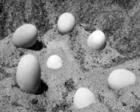 1408124876 images Глазчатая курица