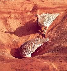 1408124925 001 Глазчатая курица